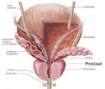 wat is de prostaat